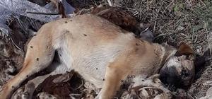 Çitli köyü karantinaya alındı İtlaf edilen köpeğin saldırdığı hayvanlarda kuduz virüsü belirlendi