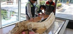 7,4 milyon yıllık hayvan fosilleri belediye başkanlığında sergilenecek