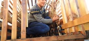 Yaralı yaban keçisi tedavi edildi