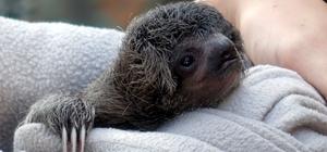Ağaçtan düşen yavru tembel hayvanın annesiyle buluşma anı göz yaşarttı Orta Amerika ülkesi Kosta Rika'nın Porto Vieho kentinde, bilim insanları ağaçtan düşen bir yavru tembel hayvanı annesine kavuşturmak için saatlerce uğraştı Dünyanın en yavaş hareket eden hayvanı olarak bilinen tembel hayvanın (sloth) sesini cep telefonuna kaydederek yaklaşık 1,5 saat annesine dinleten biyologlar, uzun süre annenin ağaçtan inmesini bekleyerek, yavruyla anneyi kavuşturmayı başardı Anne ve yavru tembel hayvanın kavuşma anını, Mersinli gezgin Umut Çor saniye saniye kaydetti