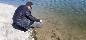 250 bin yavru sazan balığı suyla buluştu