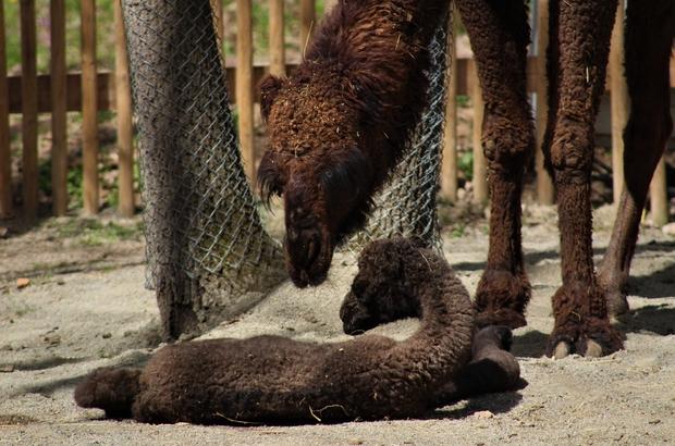 (Özel)  Avrupa'nın en büyük doğal yaşam parkında doğan yavru deve, ilgi odağı oldu 'Sahra' isimli yavru deveyi görenler şaşkınlıklarını gizleyemiyor 4 günlük yavru devenin bakımları sürüyor