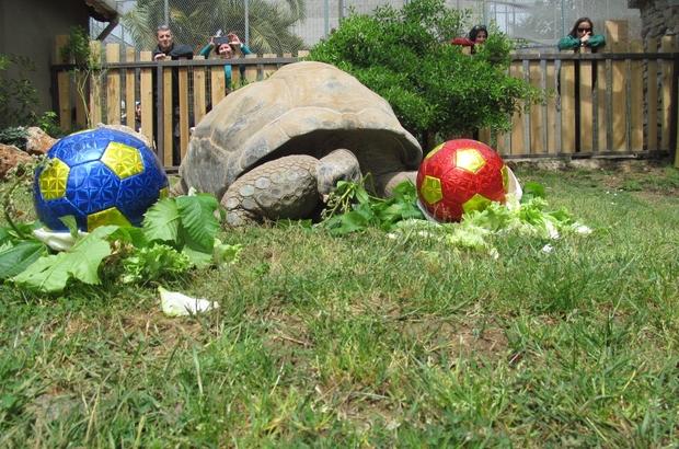 99 yaşına giren kaplumbağa Tuki'nin derbi tahmini Galatasaray Türkiye'nin en yaşlı kaplumbağası derbinin kazananını seçti