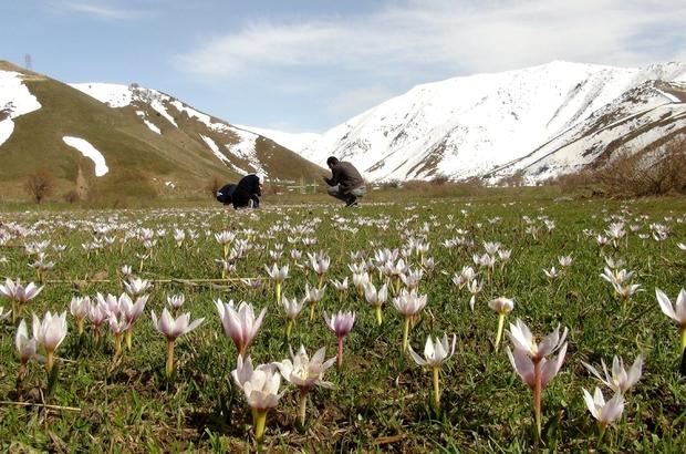 Bitlis'te karların erimesiyle açan çiğdemler eşsiz manzaralar oluşturuyor