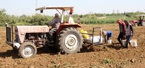 Başak borsası Adana'da hasat edilmeye başlanan turfanda patates tarlada kilosu 4 liraya satılırken, tarlada kalan başakları toplayan vatandaşlar hale kilosu 2 ile 3 liradan satıyor
