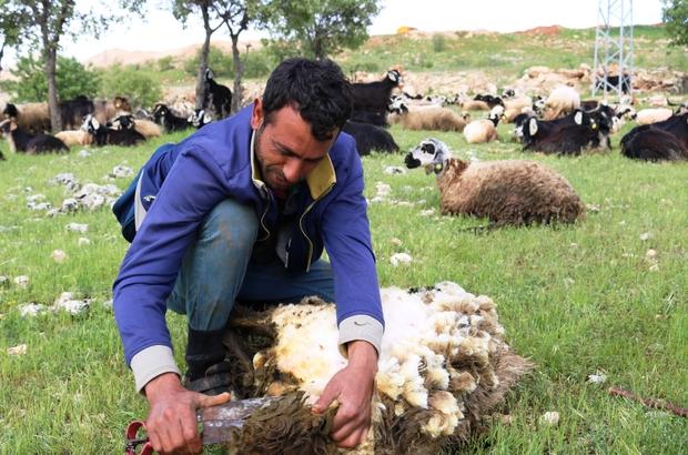 Diyarbakır'da koyun kırma sezonu başladı