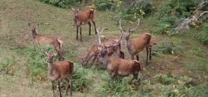 Samsun'da yaban hayvanları koruma altında