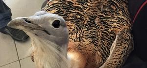Eskişehir'de nesli tükenmekte olan 'Toş' kuşu bulundu Türkiye'nin en büyük uçan kuşunu yaralı halde hayvanseverler buldu, tedavi altına alındı