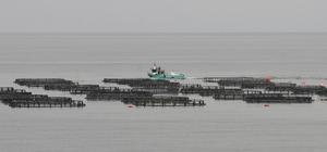 Ordu'da üretilen kültür balıkları Rusya ve Japonya'ya ihraç ediliyor Perşembe ilçesinde 25 yıl önce deneme amaçlı kurulan kafeslerde, yıllık yaklaşık 3 bin ton kültür balık üretiliyor Üreticiler bu yıl, üretimin tüketimden fazla olduğundan dolayı maliyetinden düşük rakamlara balık sattıklarını belirttiler