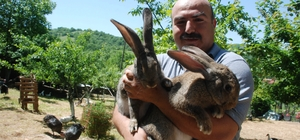 Görenler gözlerine inanamıyor 'Velikan' cinsi tavşan, büyüklüğüyle dikkat çekiyor