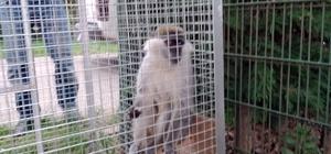 Paniğe sebep olan maymun yakalandı