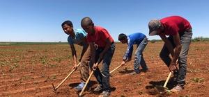 Konya'da tarım işçileri ekmek kavgasını sıcak altında sürdürüyor