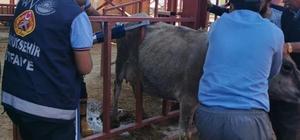Demir parmaklıklara sıkışan inek kurtarıldı