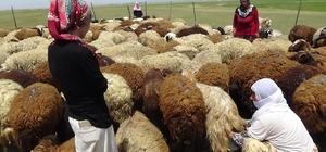Berivanların bayram mesaisi Kadınlar bayramı koyun sağarak geçirdi