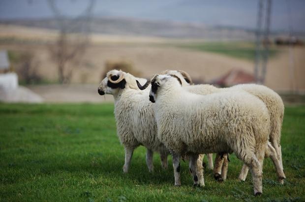 """Hilmi Güler'den tarım atağı Ordu Büyükşehir Belediye Başkanı Dr. Mehmet Hilmi Güler: """"Perşembe günü, 15 çiftçiye 330 adet Bafra koyunu dağıtacağız"""""""