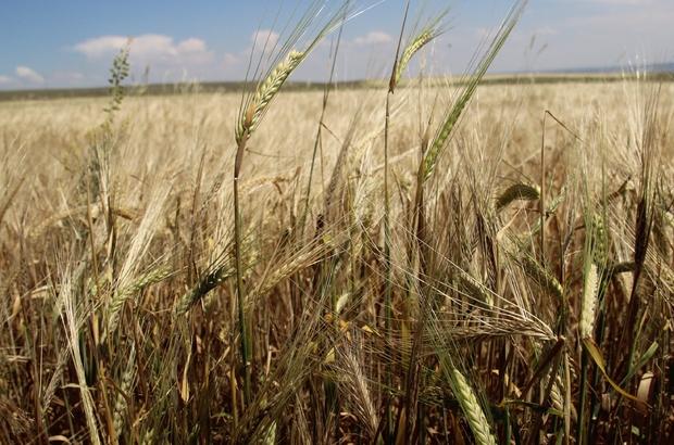"""Çiftçinin en büyük sorunu satış fiyatları Verimden mutlu olan çiftçiler tüccarların belirlediği fiyattan ise memnun değil Çiftçi Yusuf Bodur; """"Tüccarların eline kaldığımızda perişan oluruz"""" Eskişehir Tepebaşı Ziraat Odası Başkanı Süleyman Buluşan; """"Bizim yıllardır en büyük sorunumuz, çiftçimizin mağduriyetinin en büyük sebebi zirai girdiler"""" """"Bu yıl güzel bir üretim ve gidişat var, ama üreticinin zorlandığı yer zirai girdiler ve satış noktası"""""""