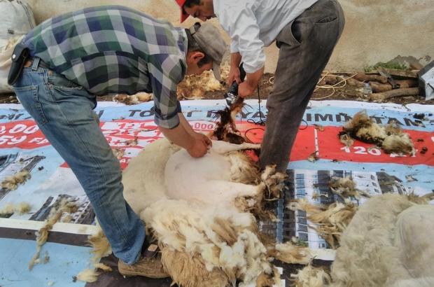 Koyun kırkmada teknoloji tercih ediliyor