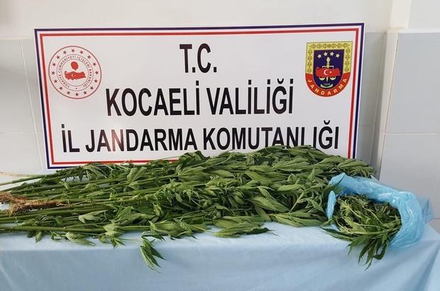 İzmit'te ormanlık alana ekili 67 kök kenevir ele geçirildi Olay hakkında 1 kişi gözaltına alındı