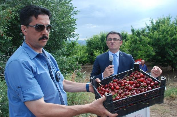 Tokat'ta ihracatlık kiraz hasadı başladı