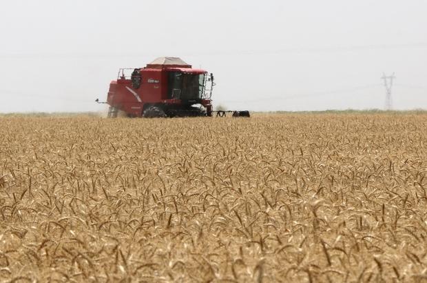 """Buğdayda rekolte düştü Adana'da buğday hasadı """"buruk"""" tamamlandı Çiftçi, TMO'nun açıkladığı fiyatta aylık kademeli artış istiyor Adana Çiftçiler Birliği Başkanı Mutlu Doğru, 2018 yılında toplam 680 bin ton rekolte elde edildiğini bu yıl ekim alanlarının 1 gerilemesi ve verimin düşük gerçekleşmesi neticesinde Adana'daki rekoltenin 500 bin tonun altında kalacağını belirtti"""