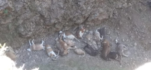 Doludan kaçan hayvanlar uçurumdan düşerek telef oldu
