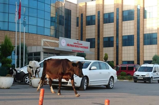 Hastanenin bahçesinde dolaşan inekler görenleri şaşırttı
