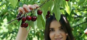 Kirazlar dalında kaldı Meyve para etmeyince ağaçlar sökülmeye başlandı