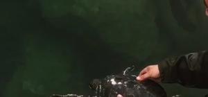 Ağlara takılan caretta carettayı denize bıraktı