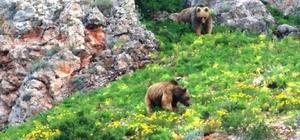 Belgesel değil, Karadeniz dağları Doğa Koruma ve Milli Parkların Doğu Karadeniz'de başlattığı envanter çalışmasında ortaya belgeselleri aratmayan fotoğraflar çıktı