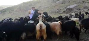 Bingöllü çobana Malatya'dan rakip Çıkardığı farklı seslerle koyunlarını saniyeler içinde etrafına topluyor