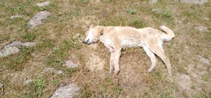 Bingöl'de 4 çoban köpeğinin vurulduğu iddiası