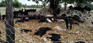 Mersin'de sel Yıldırım düşen ağıldaki 40 keçi telef oldu
