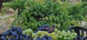 Tarsus'ta üzüm hasadı başladı Türkiye'nin üzüm ihtiyacının yüzde 5'inin karşılandığı Tarsus'ta sezonun ilk üzümü hasat edildi