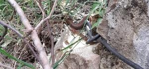 Ordu'da ilk defa Avusturya yılanı görüldü Evine Avusturya yılanı yuva yaptı