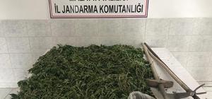 Jandarmadan eş zamanlı kenevir operasyonları 3 ilçede 22 bin 998 kök kenevir bitkisi ele geçirildi