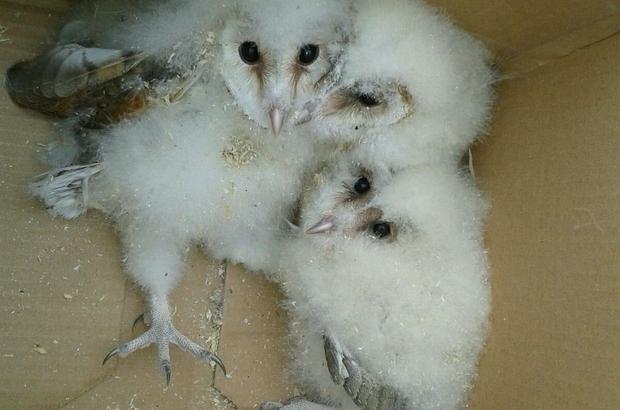 Çatı arasında mahsur kalan yavru baykuşlar kurtarıldı