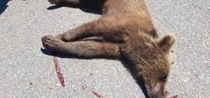 Aracın çarptığı yavru ayı öldü