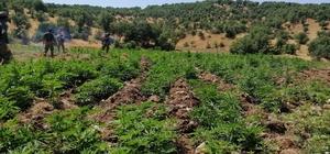 Diyarbakır'da dev uyuşturucu operasyonu Düzenlenen operasyonda 1 milyon 255 bin 464 kök kenevir ele geçirildi