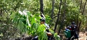 Manisa'da uyuşturucu operasyonu Bin 500 kök kenevir ele geçirildi