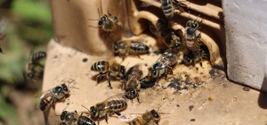 Kilosu 8 bin lira, taleplere yetişemiyor Sivas'ta bir arıcı, kilosu 5 bin lira ile 8 bin lira arasında satılan arı sütünde taleplere yetişemiyor