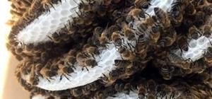 (Özel)Bu arılar fırtınada bile uçup bal yapıyor Gökçeada arısı ödüle doymuyor Arı literatürüne yeni giren, kanat yapısı sayesinde fırtınada bile uçabilen yeni ırk Gökçeada arısı ürettiği bal ile tüm yarışmalarda derece elde ediyor