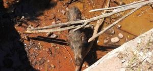 Sulama kanalına düşen domuz kurtarıldı