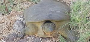 Diyarbakır'da bir kez daha görüldü Diyarbakır'da nesli tükenmekte olan Fırat kaplumbağası bulundu