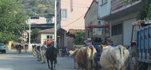 Aydın'da merası korunan köyler, hayvancılığın keyfini yaşıyor