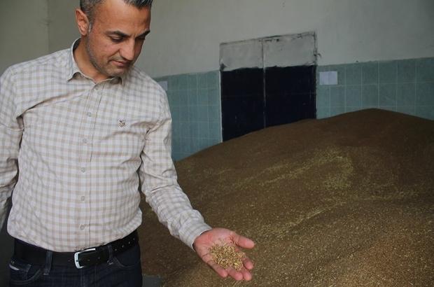 """Buğdayın ton fiyatı bin 125 ile bin 350 TL arasında değişiyor Bilecik Tarım ve Orman İl Müdürü Necmettin Yoldaş; """"Bilecik'te 120 ile bin 450 rakım arasında buğday üretimi yapılıyor"""""""