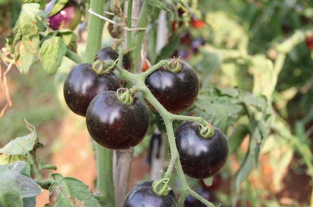 """(Özel) Bu domatesleri görenler şaşırıyor Mersin'in merkez Mezitli Belediyesi'nin gönüllülere tahsis ettiği sebze üretim alanında siyah domates yetiştirildi Emekli Deniz Astsubayı Salman Kalender, kökeni Güney Amerika'nın Galapagos Adaları olan siyah domateste ilk ürünleri almanın mutluluğunu yaşıyor Başkan Tarhan: """"Mersinliler ilk kez siyah domates görecek"""""""
