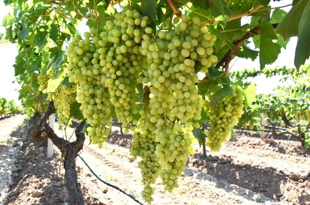 'Superior Seedless' üzümde hasat ve ihraç tarihleri belirlendi