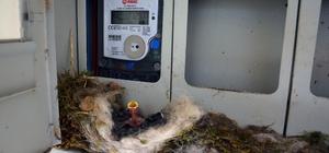 Kuş elektrik saatine yuva yaptı, ev sahibi elektriğini kesti