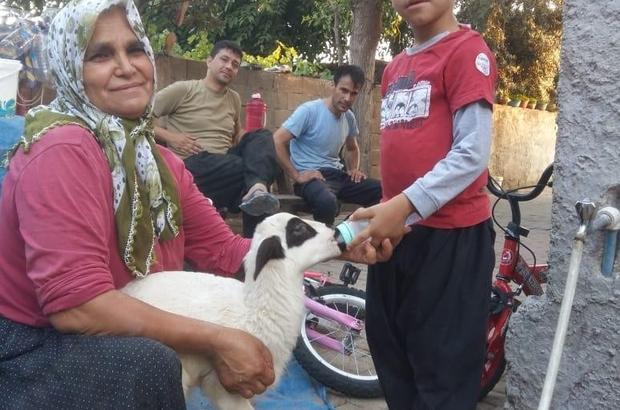 Annesi ölen kuzuyu biberonla besliyor