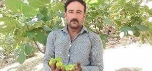 Aydın'da incir üretimi SOS veriyor Ürünler olgunlaşmadan dökülmeye başladı